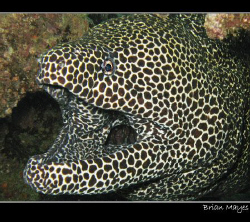This Honeycomb Moray was huge, easily 6ft in length and i... by Brian Mayes 